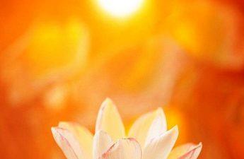 Hoa sen mặt trời
