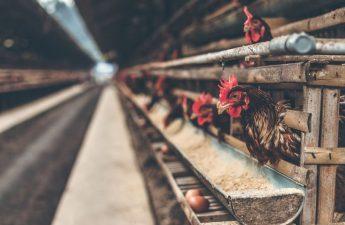 Trứng gà có ăn được hay không?